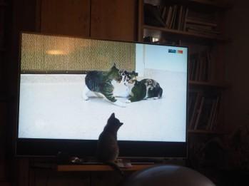 katzenfernsehen
